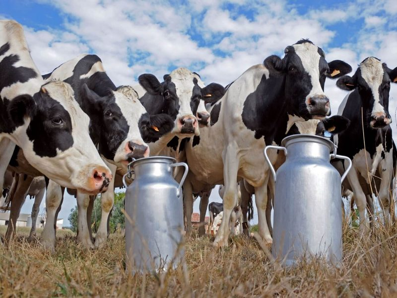 steona junica raspisan natječaj bespovratna potpora eu fondovi mlijekarstvo govedarstvo